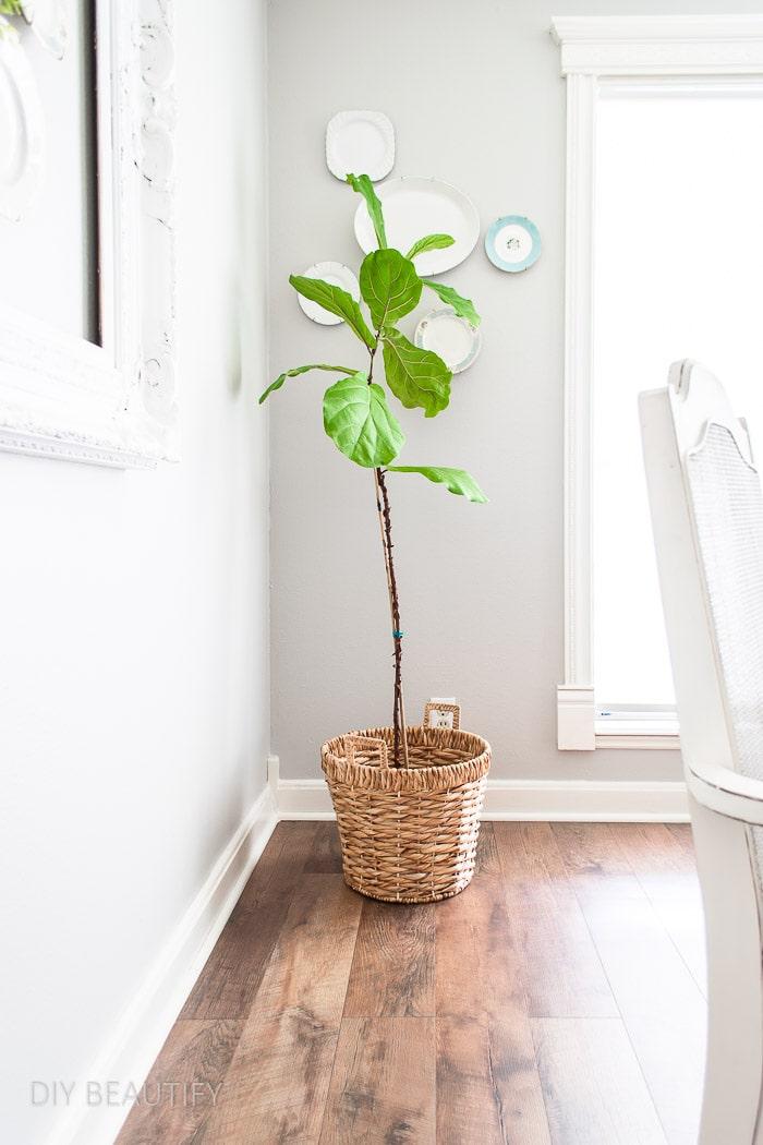 fiddle leaf fig tree in woven basket