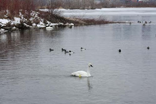 Swans, Geese and Ducks Are Not Snowy Owls.