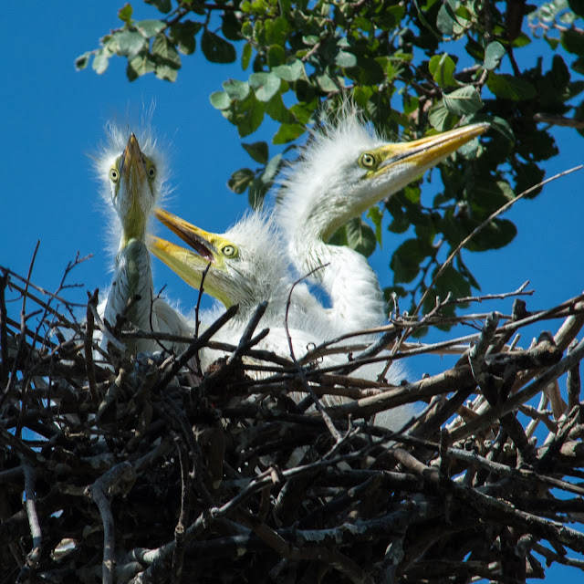 Great Egret Chicks, UT Southwestern Medical Center Rookery