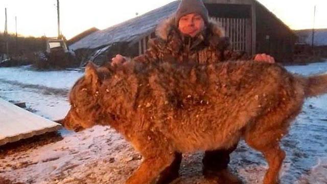 Пермяк голыми руками порвал пасть волку и спас своего щенка