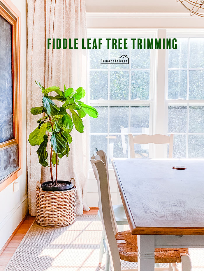how to trim a fiddle leaf fig