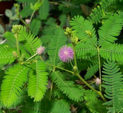 Manfaat tanaman Putri aib