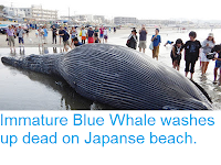 https://sciencythoughts.blogspot.com/2018/08/immature-blue-whale-washes-up-dead-on.html