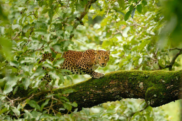 Indian leopard, human animal conflict, cattle lifters