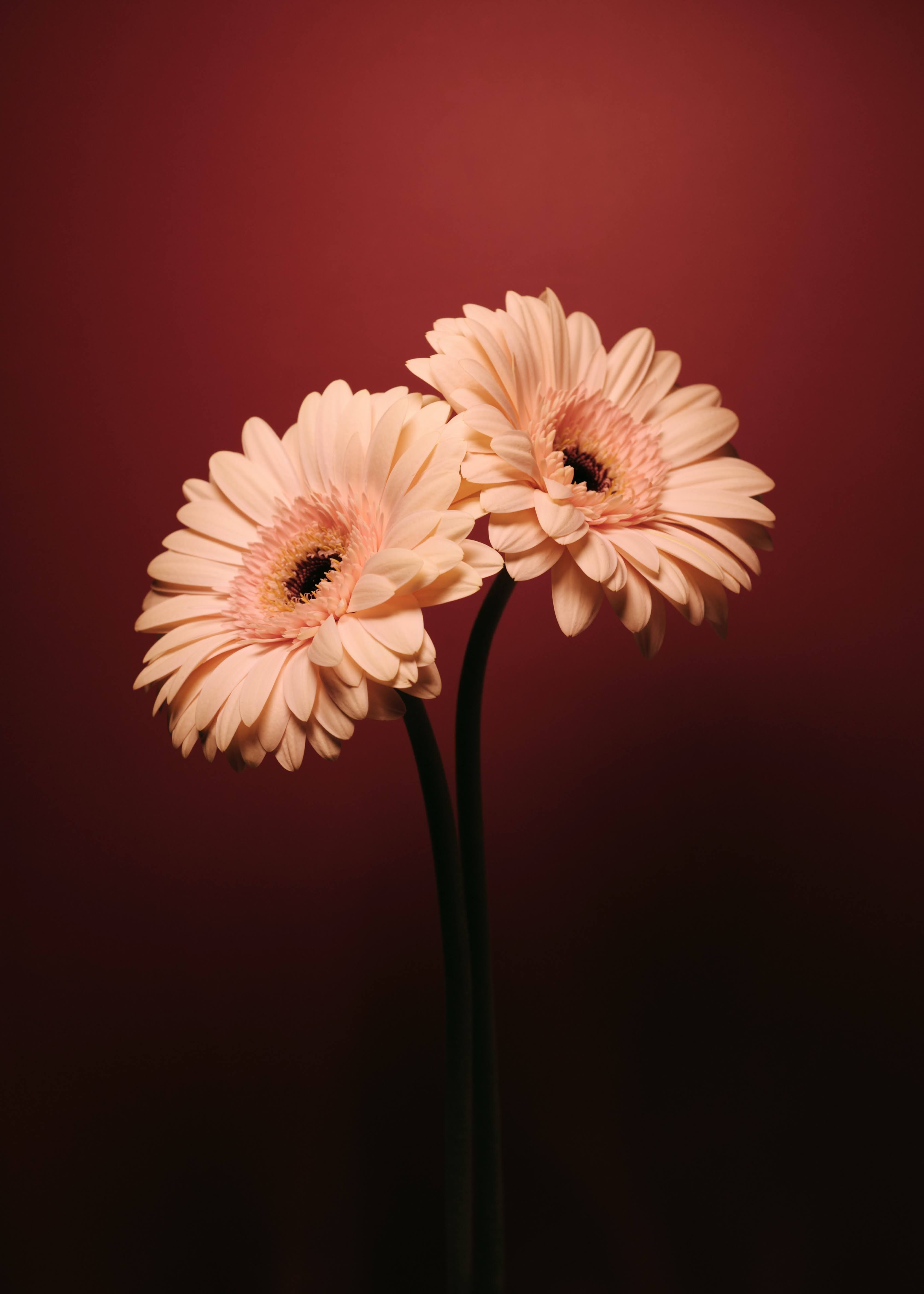 Pale Pink Gerbera Daisies in Close-Up | Photo by Vika Aleksandrova via Unsplash
