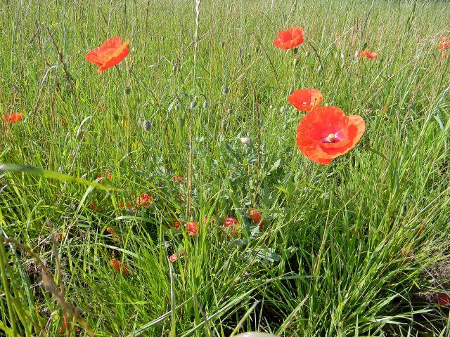 rośliny łąk, kwiaty łąkowe