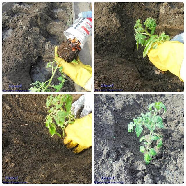 пошаговая инструкция посадки помидоров