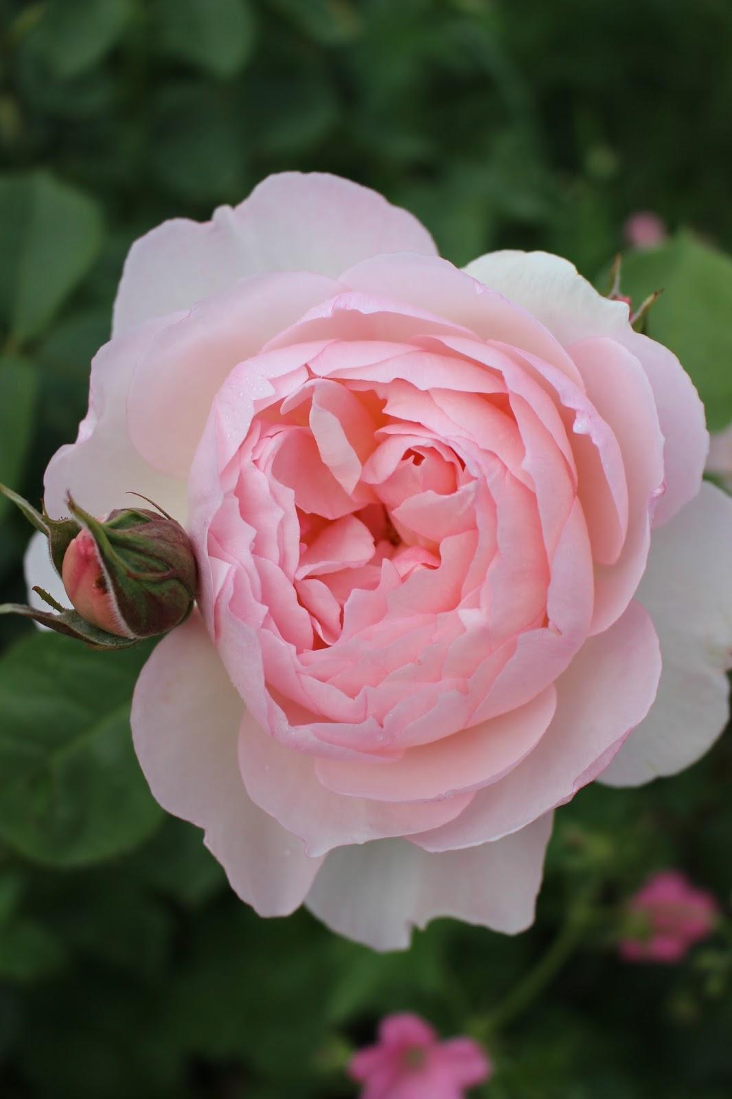 les roses du jardin secret sharifa asma david austin. Black Bedroom Furniture Sets. Home Design Ideas