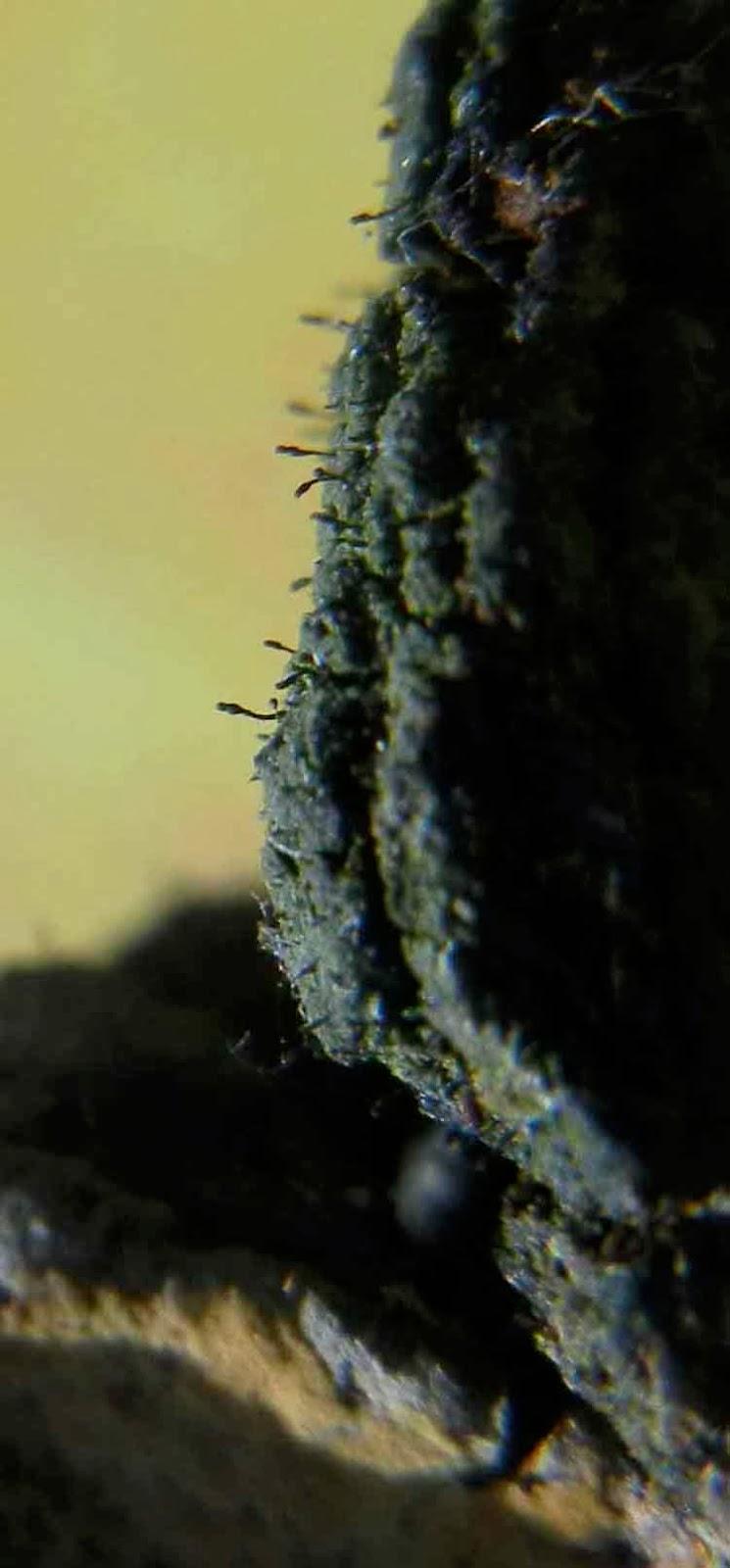 Chaenotheca brunneola less than 1mm