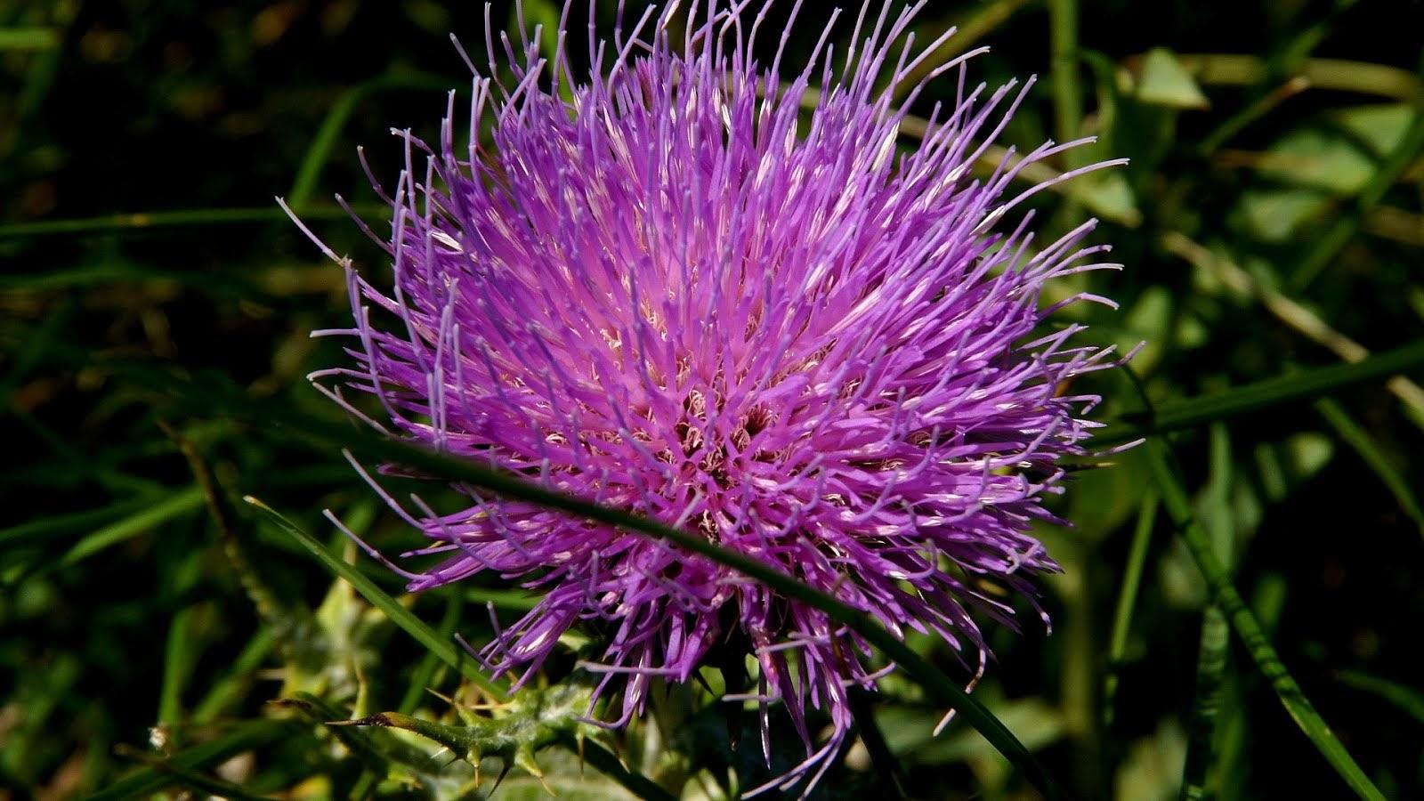 Pulsatilla South Dakota Flower Flower Choices