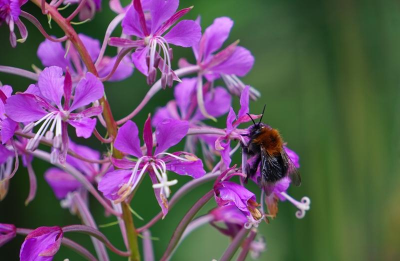 hormsa, luojnto, mehiläinen