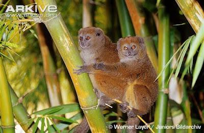 Madagascar endangered monkeys