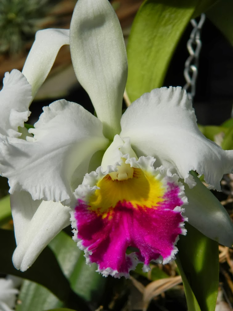 Cattleya labiata var. semi-alba by garden muses-not another Toronto gardening blog