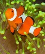Cara Memelihara Ikan Badut Clownfish Aneka Hewan Peliharaan Dan Tanaman Hias