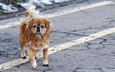 A small, older dog is walking on the road