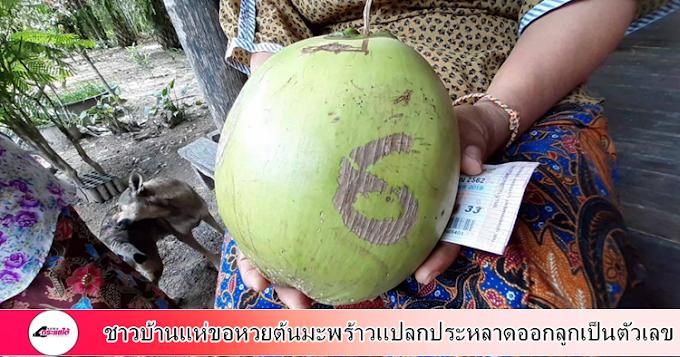 กระบี่-ชาวบ้านแห่ขอหวยต้นมะพร้าวแปลกประหลาดออกลูกเป็นตัวเลข