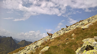 Mother and baby chamois going down to Lago Moro.