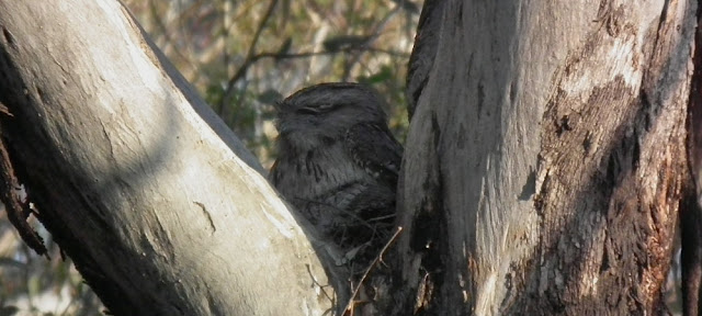 Tawny Frogmouth sitting in a Eucalyptus tree, Canberra, Australia. Photographed by Susan Walter. Tour the Loire Valley with a classic car and a private guide.