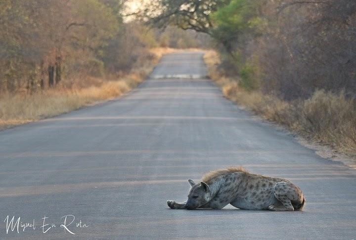 Hiena en la carretera en Kruger