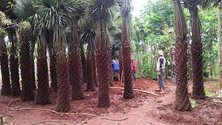 Harga palm moreli