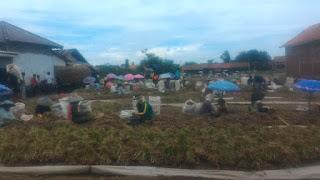 usaha bawang merah , usaha bawang putih , masalah pertanian di Indonesia