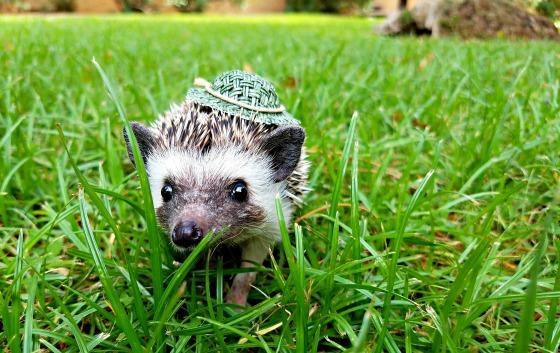 hedgehog wearing hat