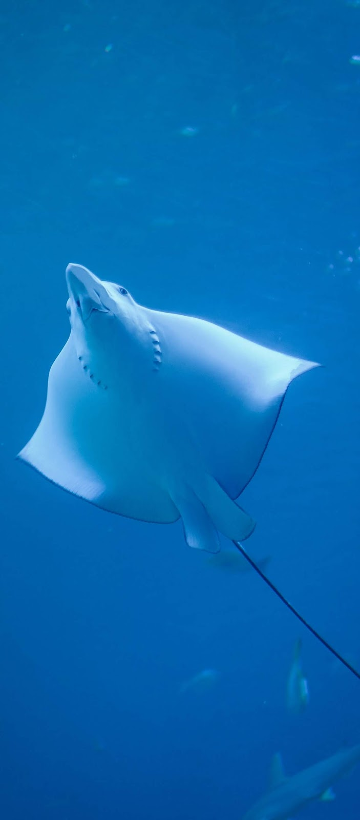 Picture of a manta ray.