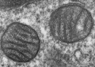 Mitokondria adalah tempat respirasi utama untuk aerobik. Memiliki struktur oval yang memanjang. Membran bagian dalam terlipat untuk membentuk laci-laci kecil yang disebut cristae yang mana terproyeksikan ke dalam matriks. Mitokondria sering disebut sebagai powerhouse dan membantu untuk menghasilkan energi untuk sel. Sel yang memerlukan sedikit energi untuk melaksanakan fungsinya seperti sel lemak memiliki sedikit mitokondria, sedangkan sel yang meggunakan energi yang banyak seperti sel otot dan hati memiliki banyak mitokondria