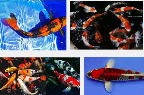 Seputar Ikan Koi