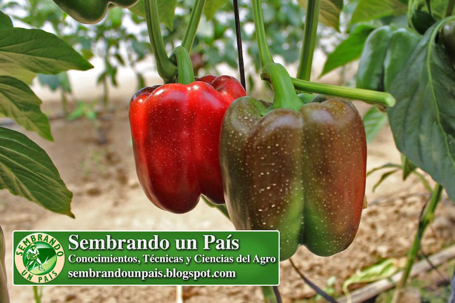 pimentón o pimiento (frutos)