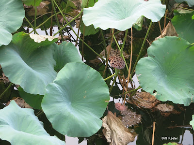 lotus Nelumbo nucifera