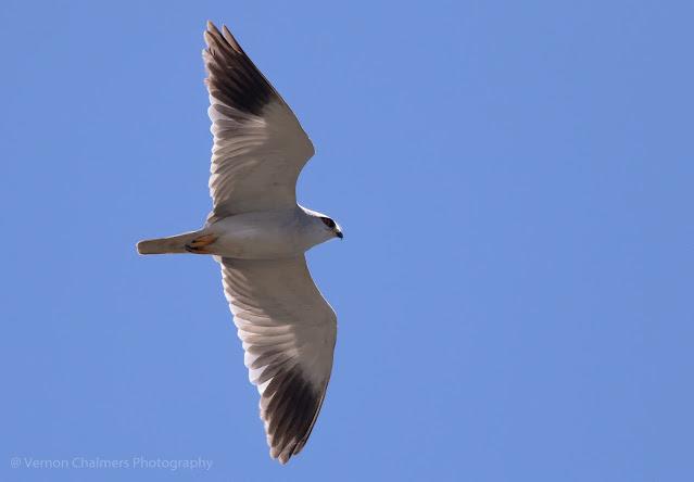 Black Winged Kite Above Woodbridge Island Photo Vernon Chalmers