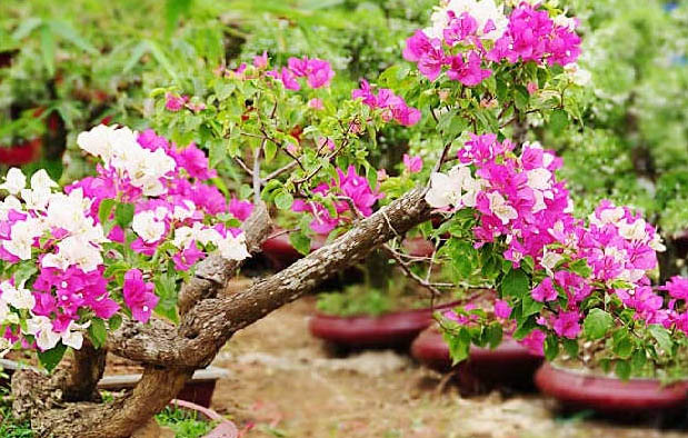 Panduan Cara Menanam Bunga Kertas Bergambar Gambar Bunga