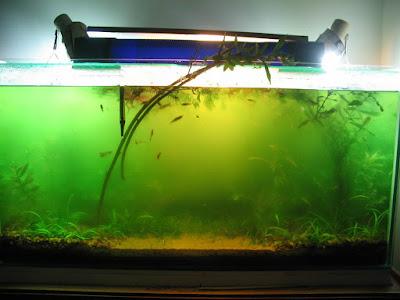 akvaryumda yosun sorunu