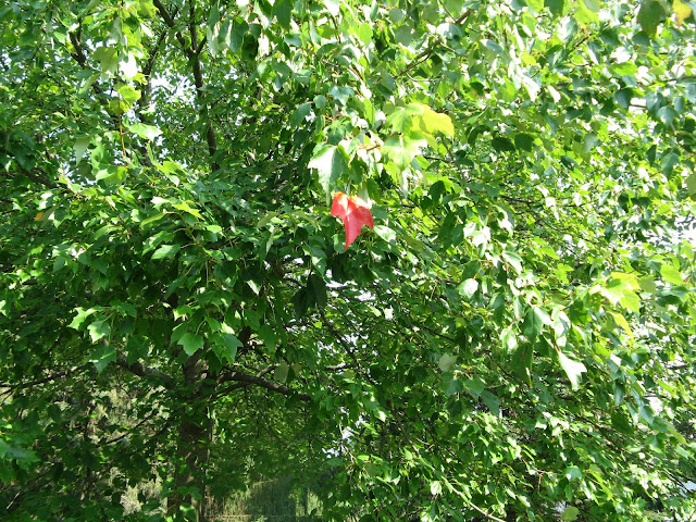 Among green leaves, one is completely red.