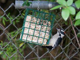 Photo of Downy Woodpecker on suet block