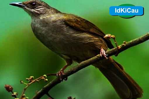 Kabar Terbaru Daftar Harga Burung Kapas Tembak 2019 Kabarterbaru Co