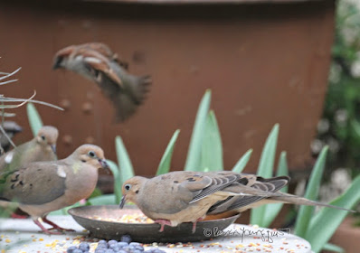 A male House sparrow and a few Mourning doves in my garden.