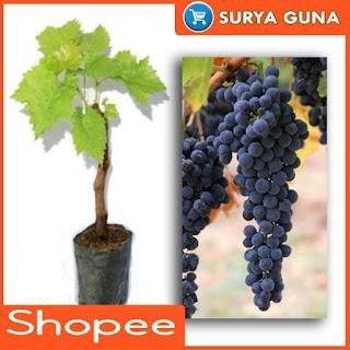 Bibit Anggur Import Murah