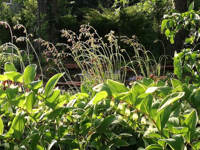 kokoryczka wilekokwiatowa variegata