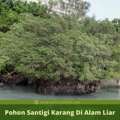 Pohon Santigi Karang Di Alam Liar