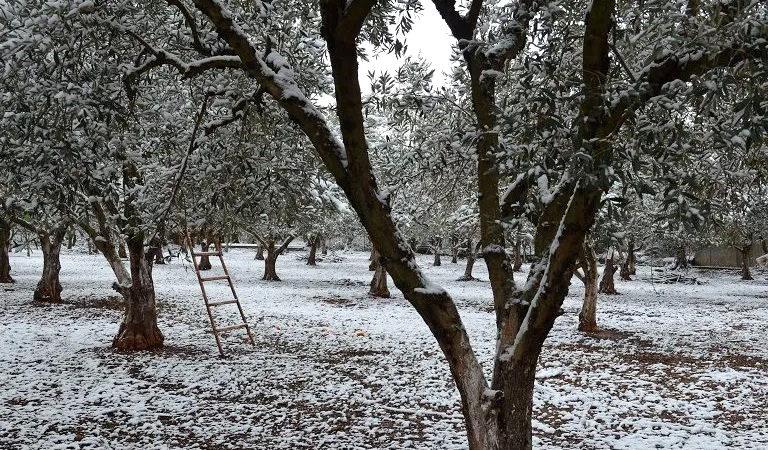 Δηλώσεις ζημιάς από παγετό σε δενδρώδεις καλλιέργειες της Δ.Ε. Αλεξανδρούπολης