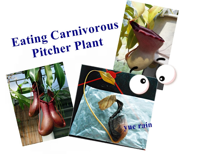 eat carnivorous Pitcher plants lemang