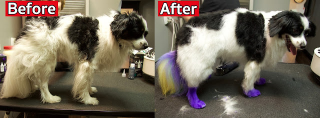 Before and after color dyeing my dog
