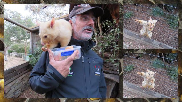 Bonorong Wildlife Sanctuary - Bob and the Albino Possum
