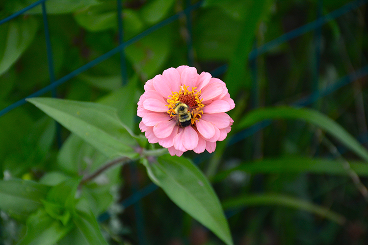 Bees; zinnias; flowers; pollination | My Darling Days