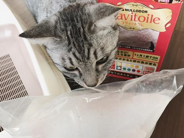 さっそくチェックしに来たサバトラ猫