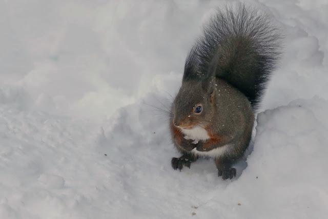 Eichhörnchen, Eichhörnliweg, Eichhörnchenweg, Arosa, Schnee, Winter
