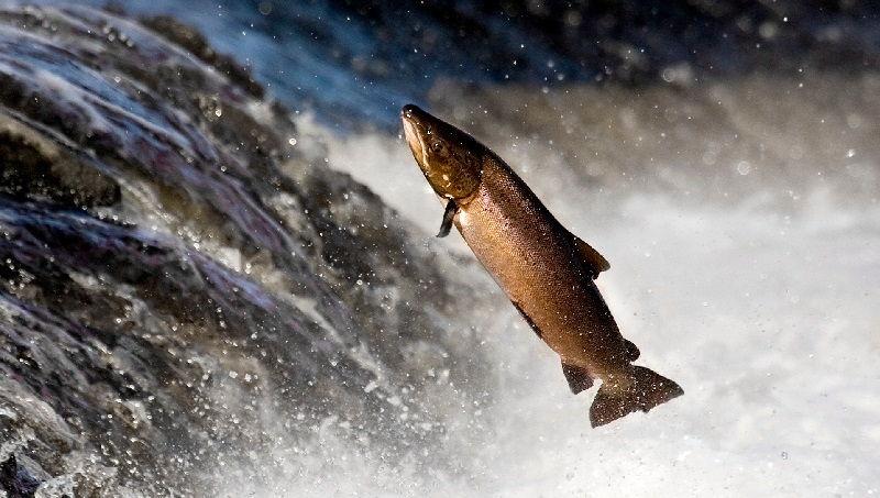 Gambar Salmon ( Oncorhynchus sp. ) bernafas dengan insang dan termasuk jenis ikan bertulang sejati