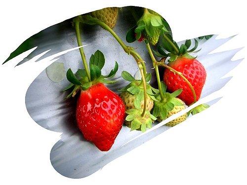 我家咖啡屋 民宿|福氣果子 原 賓拉登草莓園|大湖酒莊|苗栗大湖採草莓094-01旅遊時間